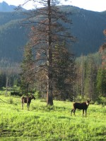 Moose, en route to Cameron Pass on day four.